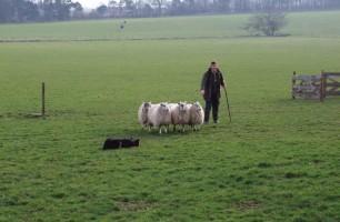 farmer herding sheep with sheep dog