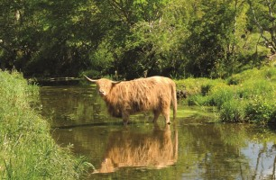 Highland cow standing in a river